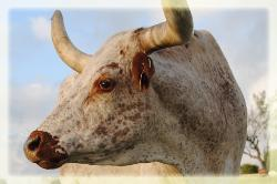 longhorn cattle for sale in Austin, Texas