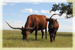 central texas longhorn breeder