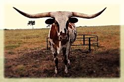 Quality Texas longhorns for sale