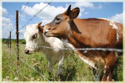 Texas Longhorn cattle for sale