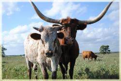 Longhorn cattle for sale in Texas