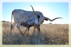 registered longhorns for sale austin texas