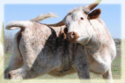 longhorn steers, cows, heifers, bulls for sale