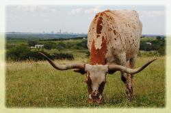 longhorn cattle for sale austin texas