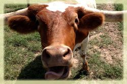 longhorn cattle for sale in central texas