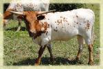 photo taken may 2012/ 2011 longhorn heifer *SALE PENDING*