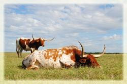 Austin, Texas Longhorns for sale
