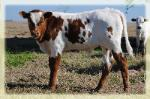 longhorn bull for sale/ photo taken feb. 2015