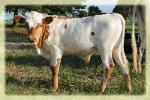 2014 longhorn bull/ photo taken june 2014
